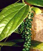 Le poivre vert CODAL